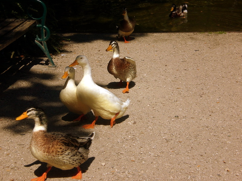 (Andalo) Some ducks